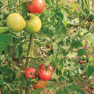 ひばり農園のオーガニック野菜