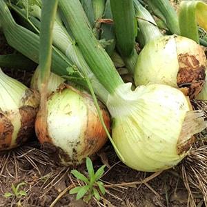 ヤサイノイトウのオーガニック野菜
